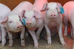 Transgene Schweine