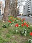 Grünstreifen mit Tulpen