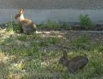 Kanninchen auf Rasen