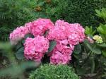 rote Hortensien