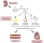 Veränderung von Proteinen durch Cyanat bei Nierenversagen