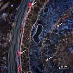 Mikroskopische Aufnahme der Netzhaut von Mäusen