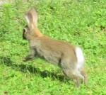 Kaninchen im Sprung