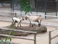 Jungtier und Ziege auf Baumstamm