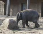 Junger Elefantenbulle Anchali