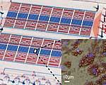 Der mikrofluidische Chip (Hintergrund) und Fettzellen (vergrößerter Ausschnitt