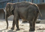 Elefant im Zoo Berlin