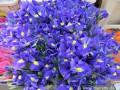 Strahlend blaue Iris