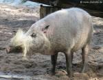 Borneo-Bartschwein