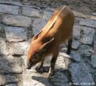 Jugtier der Pinselohrschweine