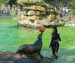 Seelöwe balanciert einen Ball