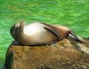 Seelöwe sonnt sich