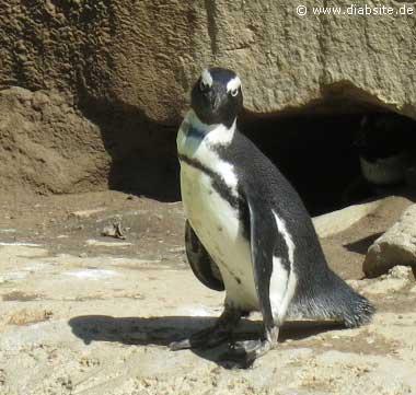 Brillenpiguin