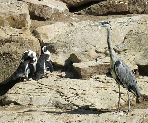 Pinguine mit Fischreiher