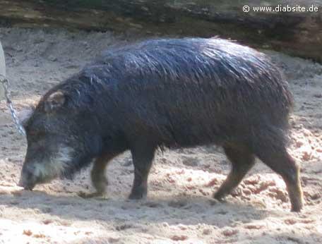 schweine füttern wie früher