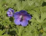 Hainschwebfliege an bunter Blüte
