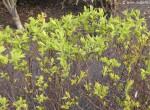 Hecke mit frischem Grün