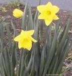 narzissen im März