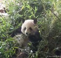 Panda-Papa Jiao Qing