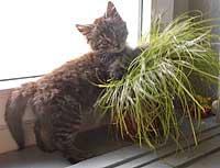 Banti auf Katzengras
