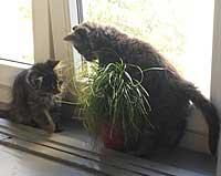 Webkater und Katzengras