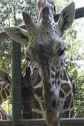 Giraffe Fine